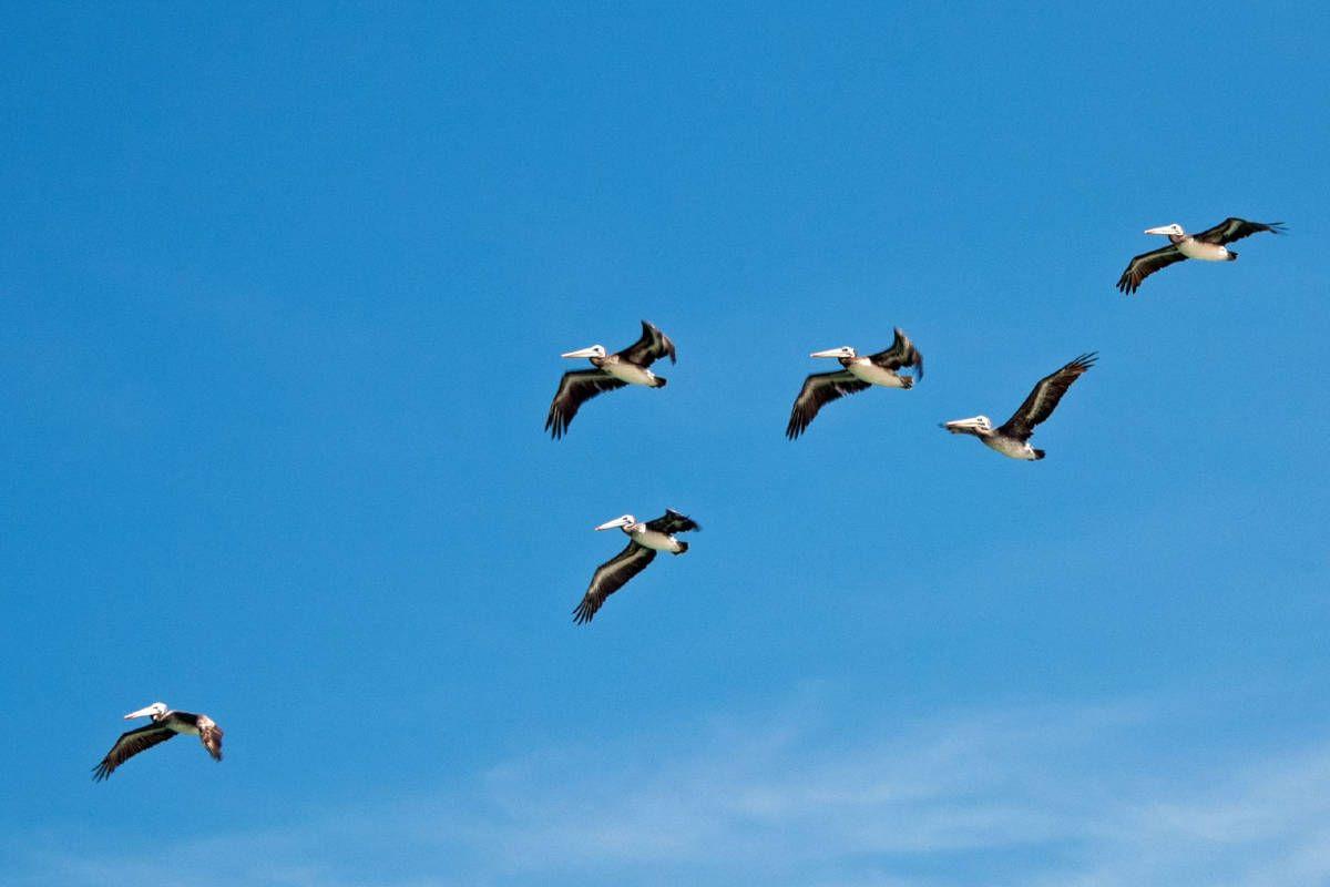 Pelicans, Islas Balestas, Peru