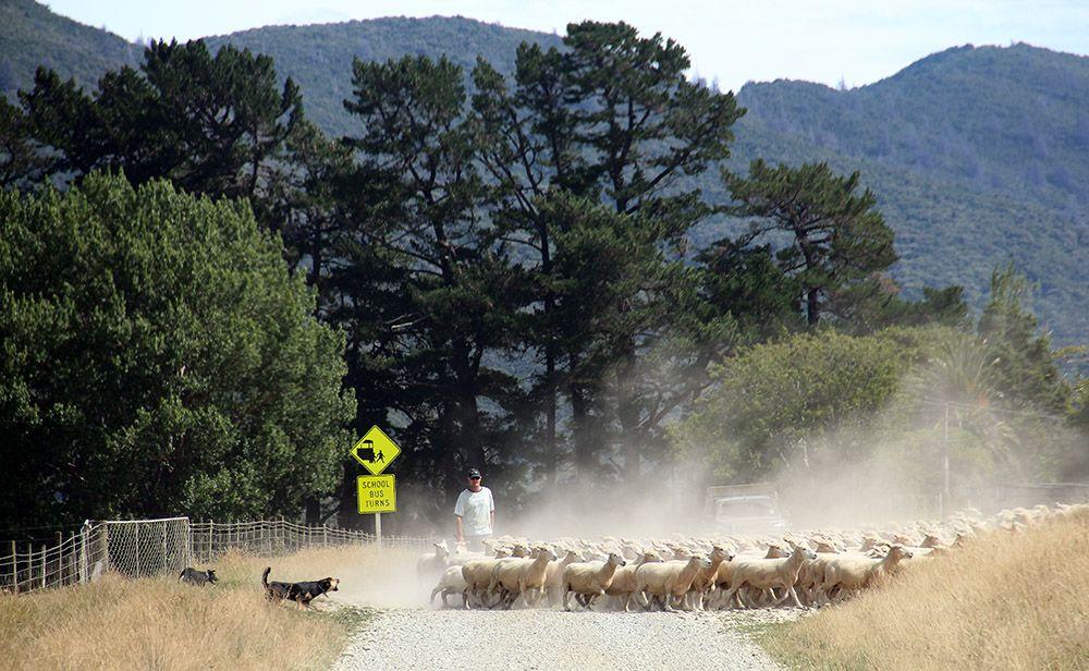 Sheep dog, New Zealand