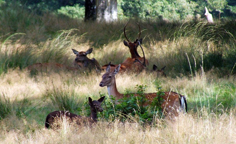 Deer in NP Veluwe, the Netherlands