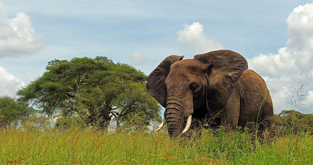 Elephant in Tarangire NP, Tanzania
