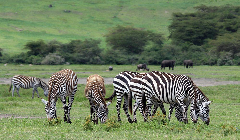 Zebras in Ngorongoro Nature Reserve, Tanzania