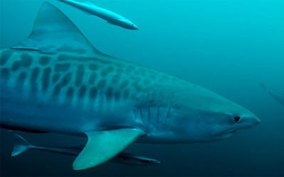 Diving with tiger sharks in Durban