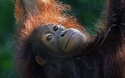 Visiting the orangutans of Sepilok